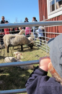 M & the Lambs