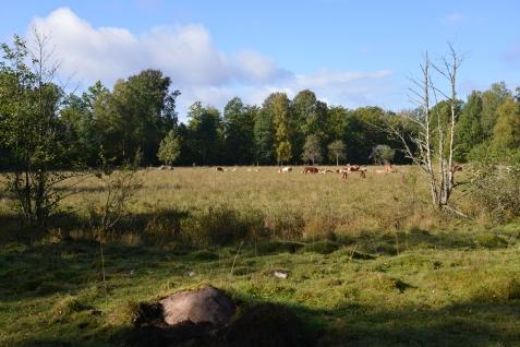 Cow field...cows.