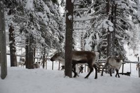 Sami Reindeer Herder Camp